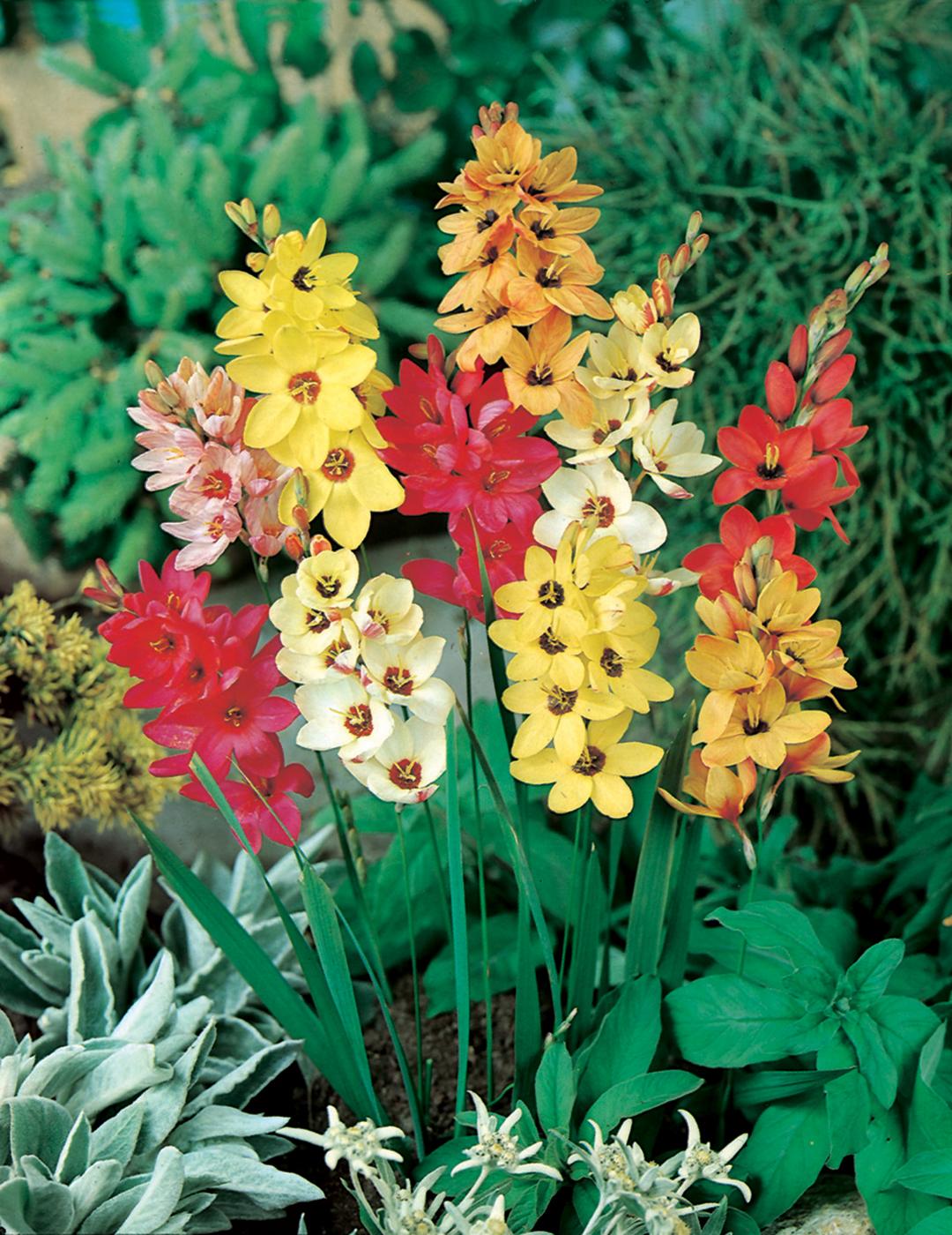 Ixia Corn Lily