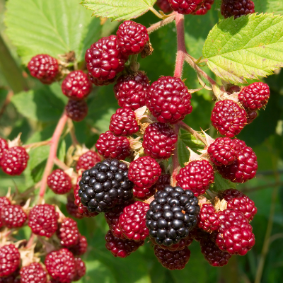 How to Grow Berry Canes
