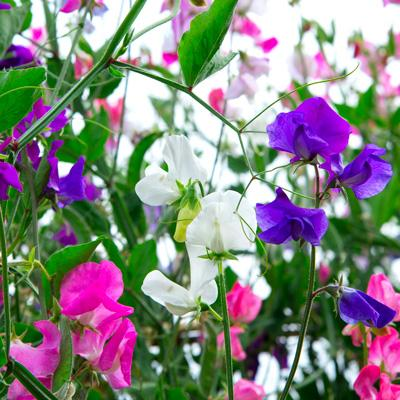 Prepping Your Garden For Sowing Sweet Peas