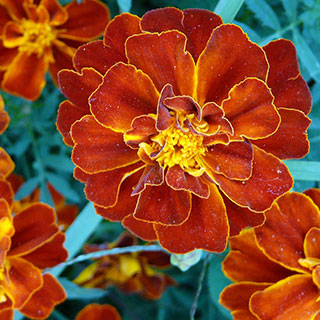 Dont Forget These Companion Flowers For Autumn